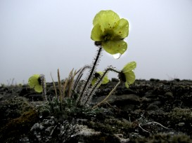 ArcticYellowPoppies2